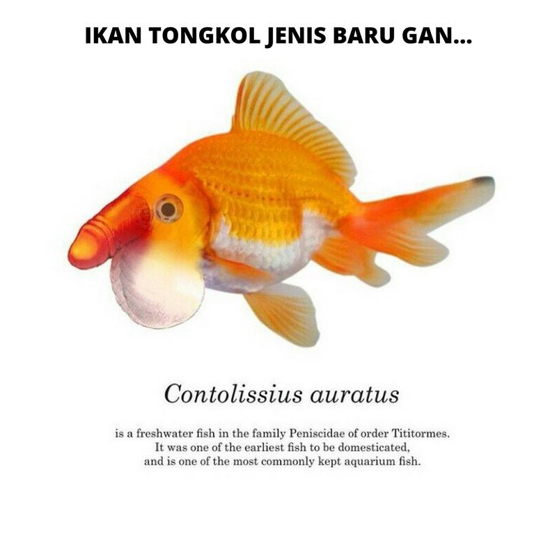 Oia Untuk Anda Yang Belum Paham Asal Muasal Meme Ikan Tongkol Jokowi Ini Berikut Ada Sebuah Yang Akan Menjelaskan Mengapa Meme Ikan Tongkol Ini