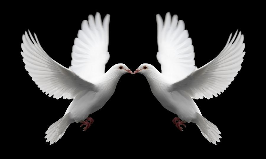A Pair Of White Doves In Flight Symbolize Love Forever And Eternal Romance