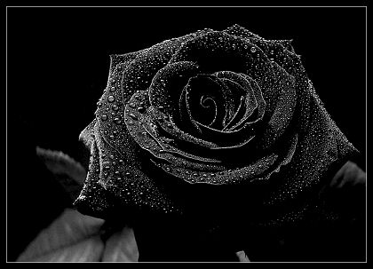 Black Rose Black