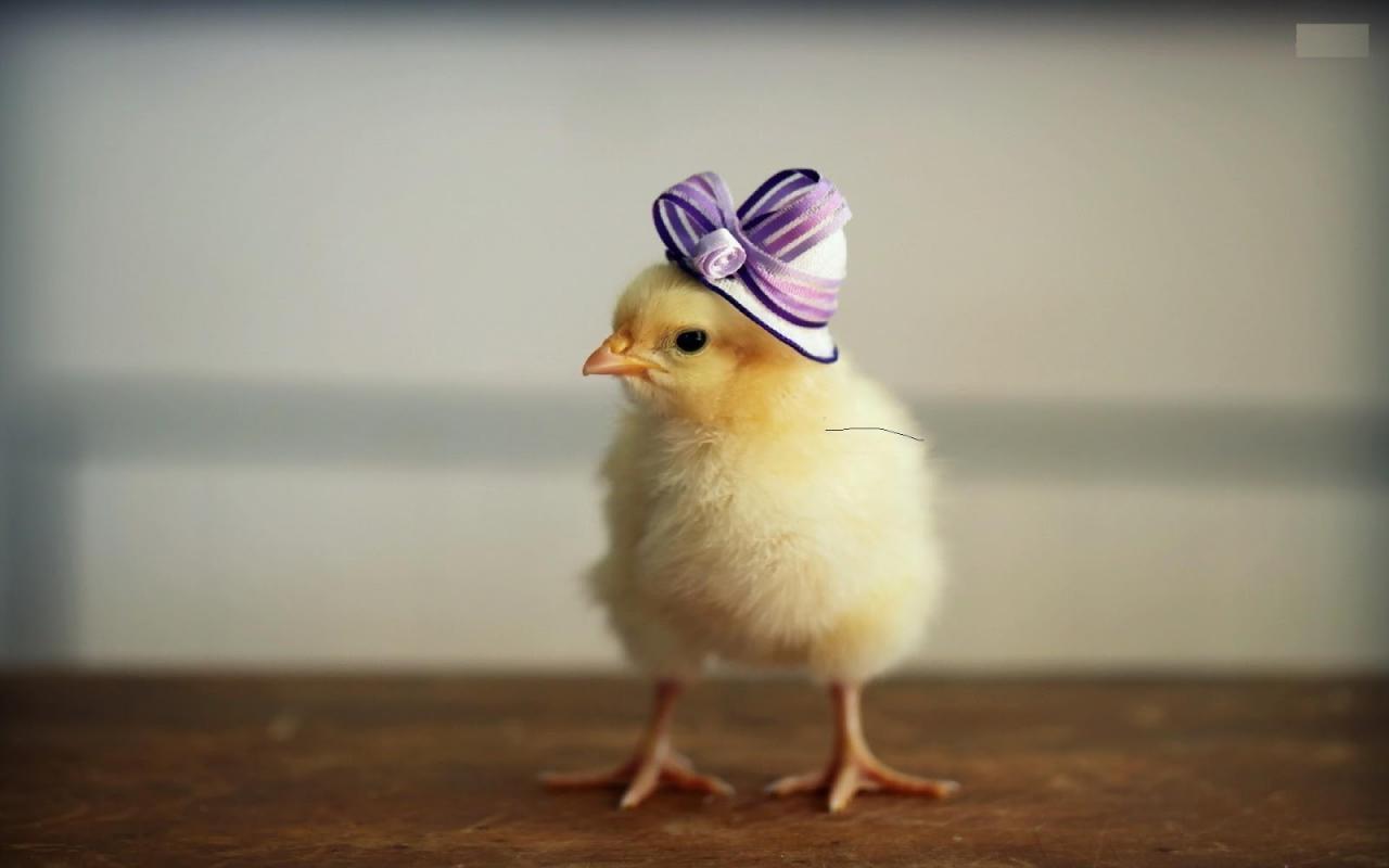 Trending Hari Ini Hd Walpaper Anak Ayam Dan Anak Bebek Yang Lucu