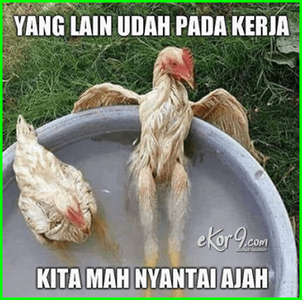 Dp Bbm Bergerak Lucu Typogaulblo Ayam Mandi Ayam Lucu Dan Gokil Ayam Lucu Dan Imut