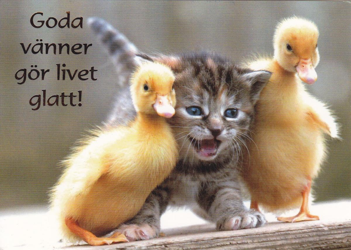 Meme Lucu Ayam