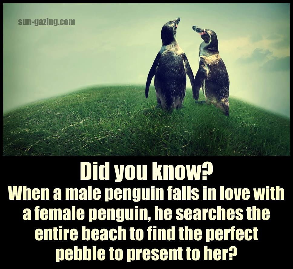 When A Male Penguin Falls In Love He Searches The Entire Beach To Find The Perfect Pebble For Her