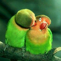 Pair Of Love Birds
