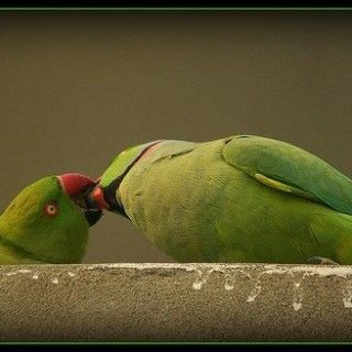 Cute Love Birds Kissing Love Quotes About Your