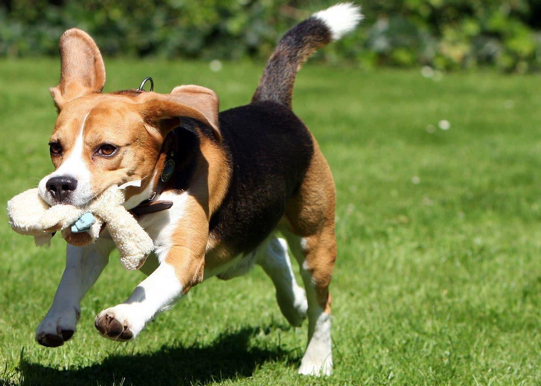 Beagle Weshalb Der Beagle So Beliebt Ist