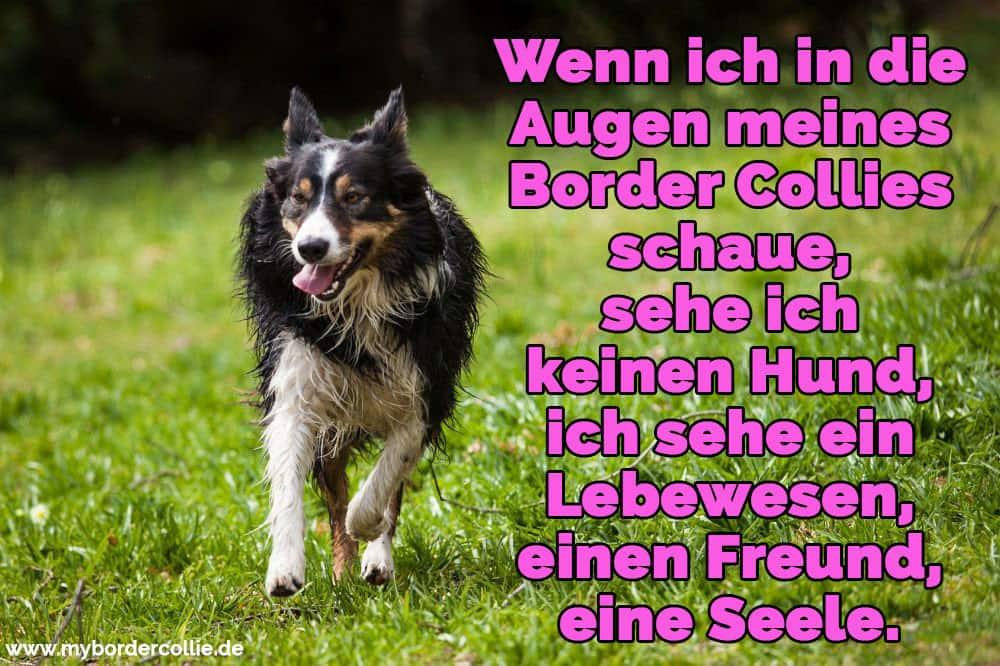 Wenn Ich In Augen Meines Border Collies Schaue Sehe Ich Keinen Hund Ich Sehe Ein Lebewesen Einen Freund Eine Seele