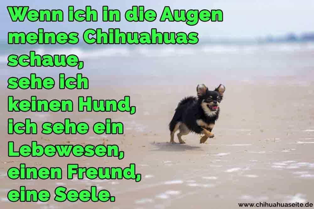 Wenn Ich In Augen Meines Chihuahuas Schaue Sehe Ich Keinen Hund Ich Sehe Ein Lebewesen Einen Freund Eine Seele