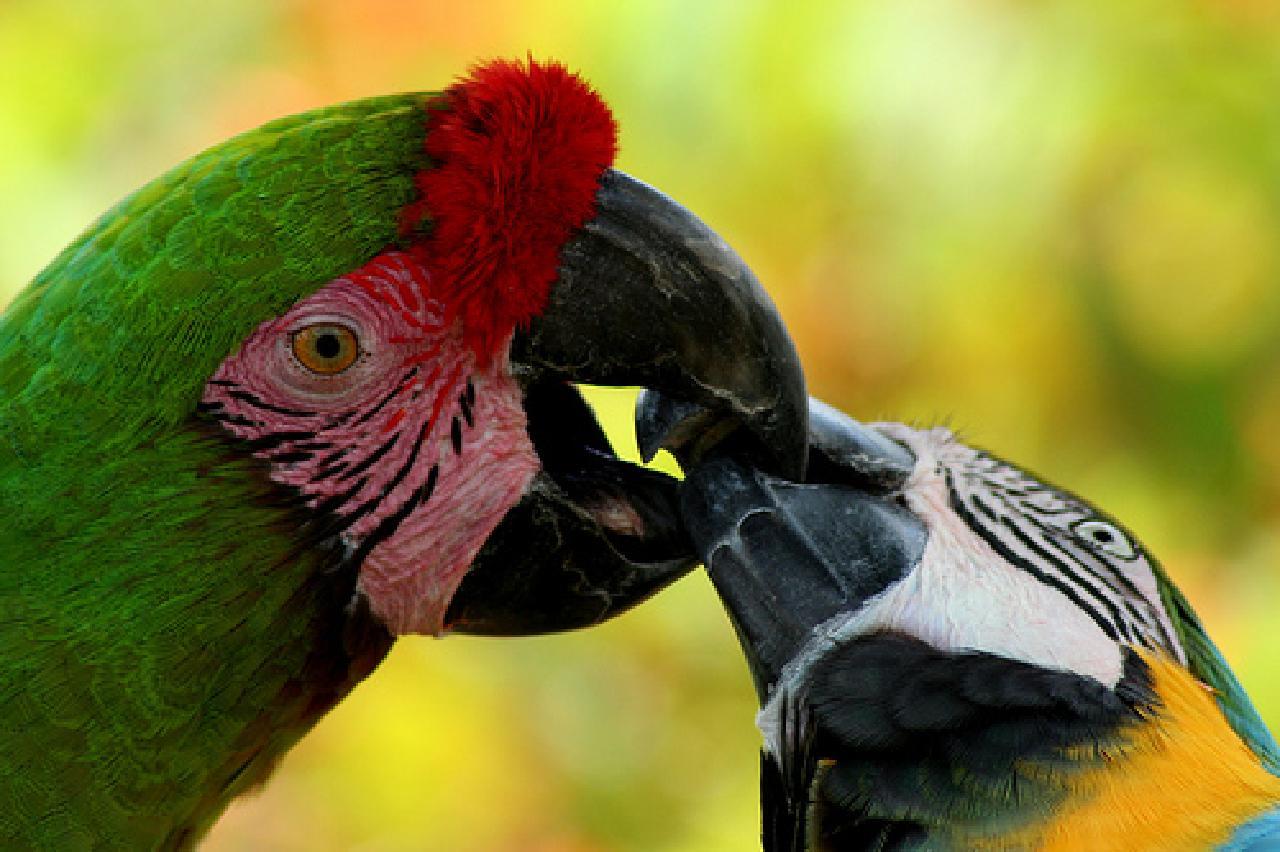 Beautiful Macaw Parrots Kissing