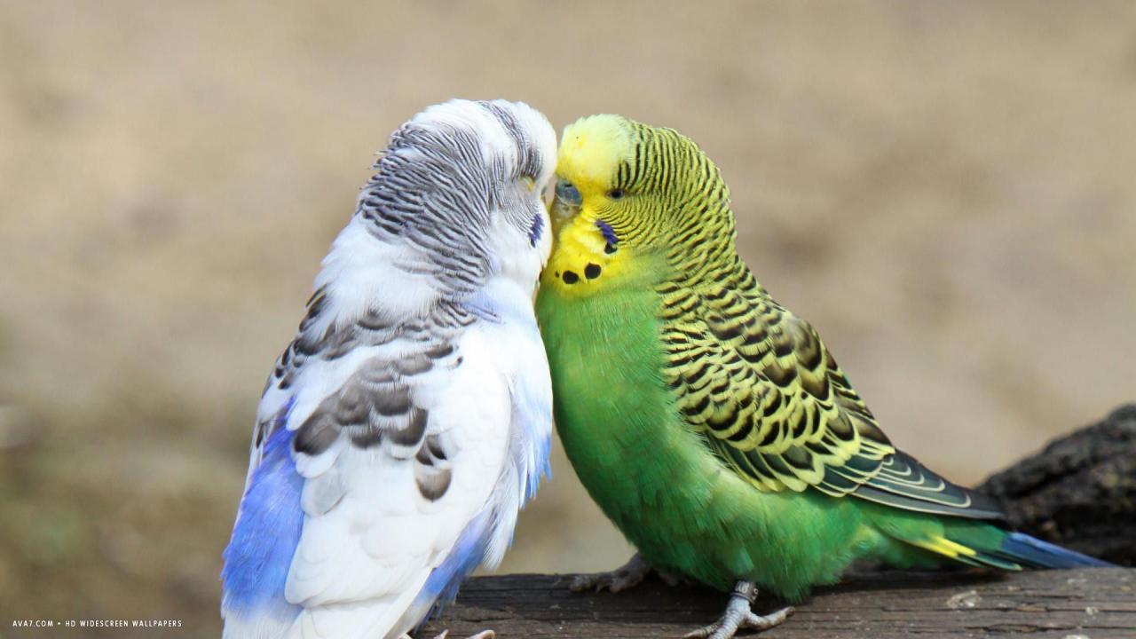 Cute Small Love Birds Kissing