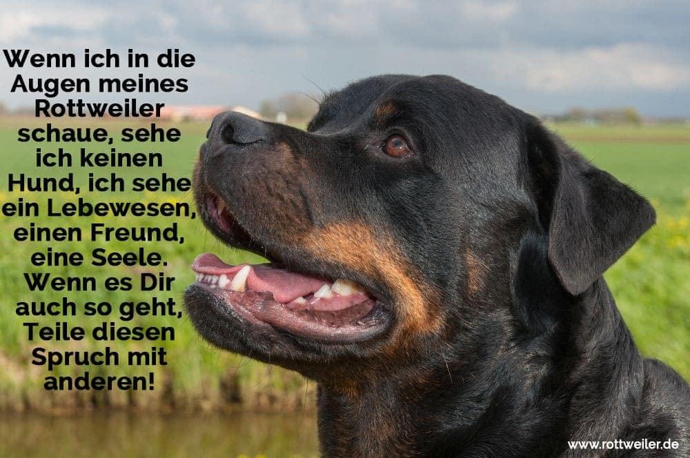 Wenn Ich In Augen Meines Rottweiler Schaue Sehe Ich Keinen Hund Ich Sehe Ein Lebewesen Einen Freund Eine Seele Wenn Es Dir Auch So Geht